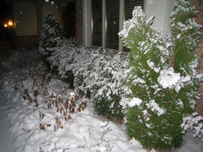 Arborvitae- all lined up for a winter beating!