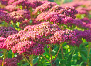 Sedum in the late fall.