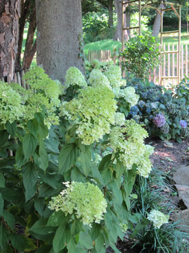 Hydrangea Limelight - shade tolerant shrub