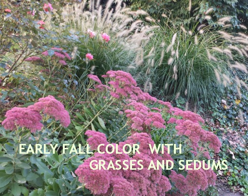 Sedum 'Autumn Joy'