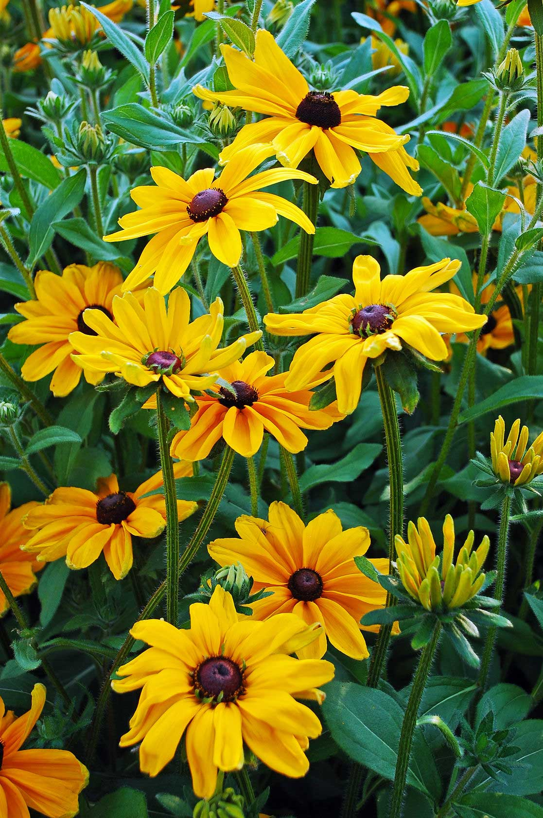 Blackened Susans for perennial fall color.