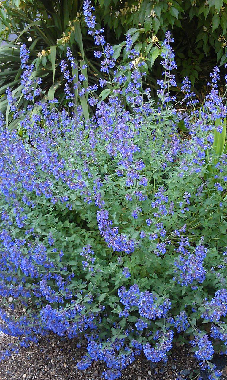 Catmint with its long lasting blue flowers is a winner.