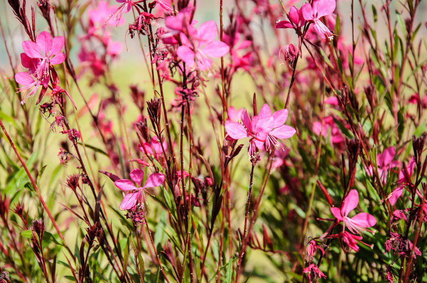 Gaura is a perennial that attracts butterflies and is very hardy.