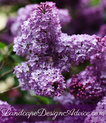 Lilac is a beautiful purple shrub, but not a perennial.