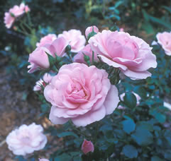 Shrub rose. Low maintenance.