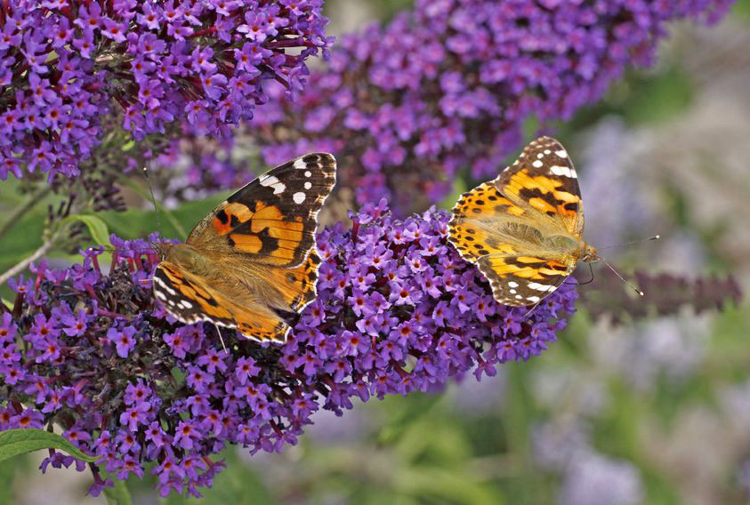 Butterfly bush is a perennial that attracts butterflies.
