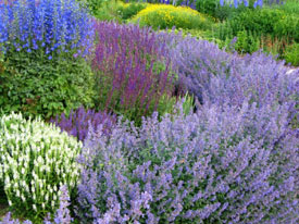 Catmint is one of my favorite perennials