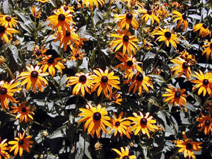 Many perennial flowers take little care