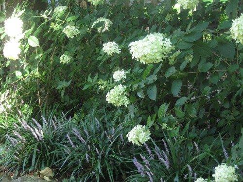 Hydrangea and Liriope in a flower garden.