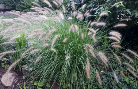 Perennial garden design pictures and professional tips for Tall grass with plumes