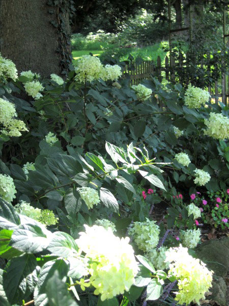 Hydrangea plants in the shade.