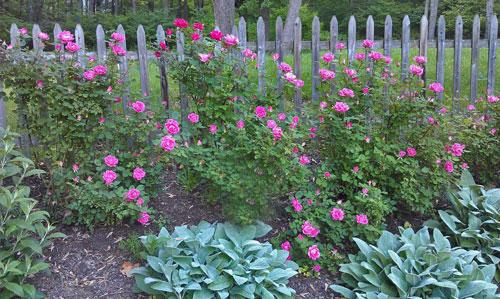 Dos rosas de escalada fáciles de crecer | Raíz simple
