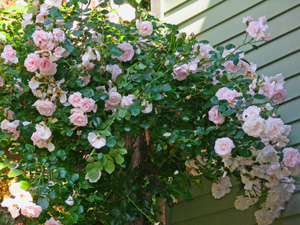Flowering roses make colorful shrubs.