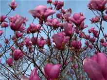 This Magnolia is small and has pink flowers.