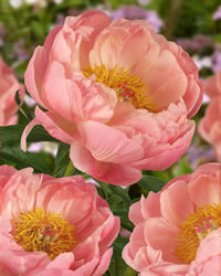 Peony is showy when in bloom.