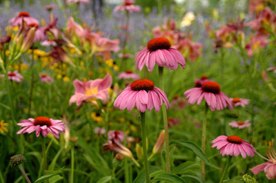 Coneflower takes little care. A very showy perennial for mid to late summer color.