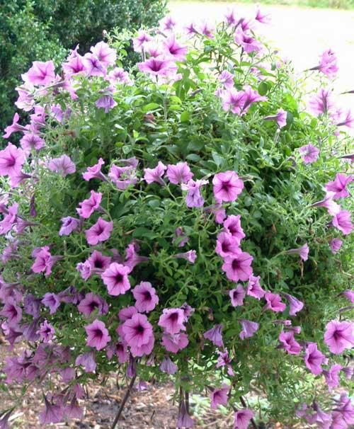 Sugerencia de plantas para plantas perennes al aire libre de altura media con floraciones púrpuras
