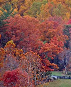 Red Maple trees fall color