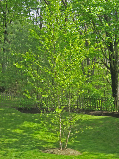 River Birch can have a single stem or be multi-stemmed.