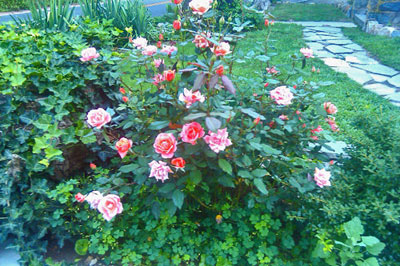 Carefree Celebration is an easy to grow rose.