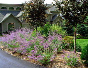 Russian Sage stands out while in flower.