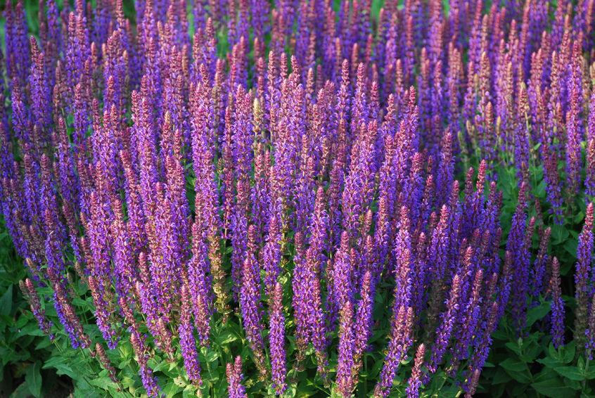 Salvia for a sunny perennial garden.