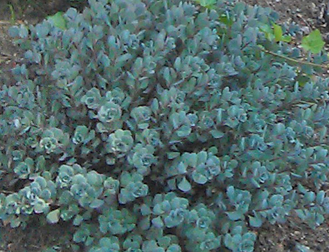 Succulent for xeriscaping with blue foliage.