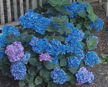 Hydrangea Forever and Ever with blue flowers