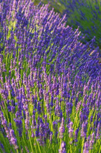 Lavender is among the easy to grow flowers.