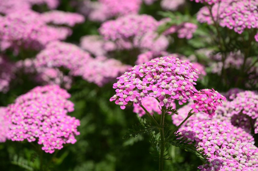 Yarrow is very drought tolerant and low maintenance.