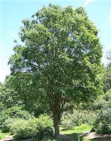 Zelkova tree.
